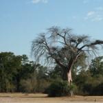 Bao Bao Tree In Zambia