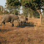 Zambia Safari Elephants